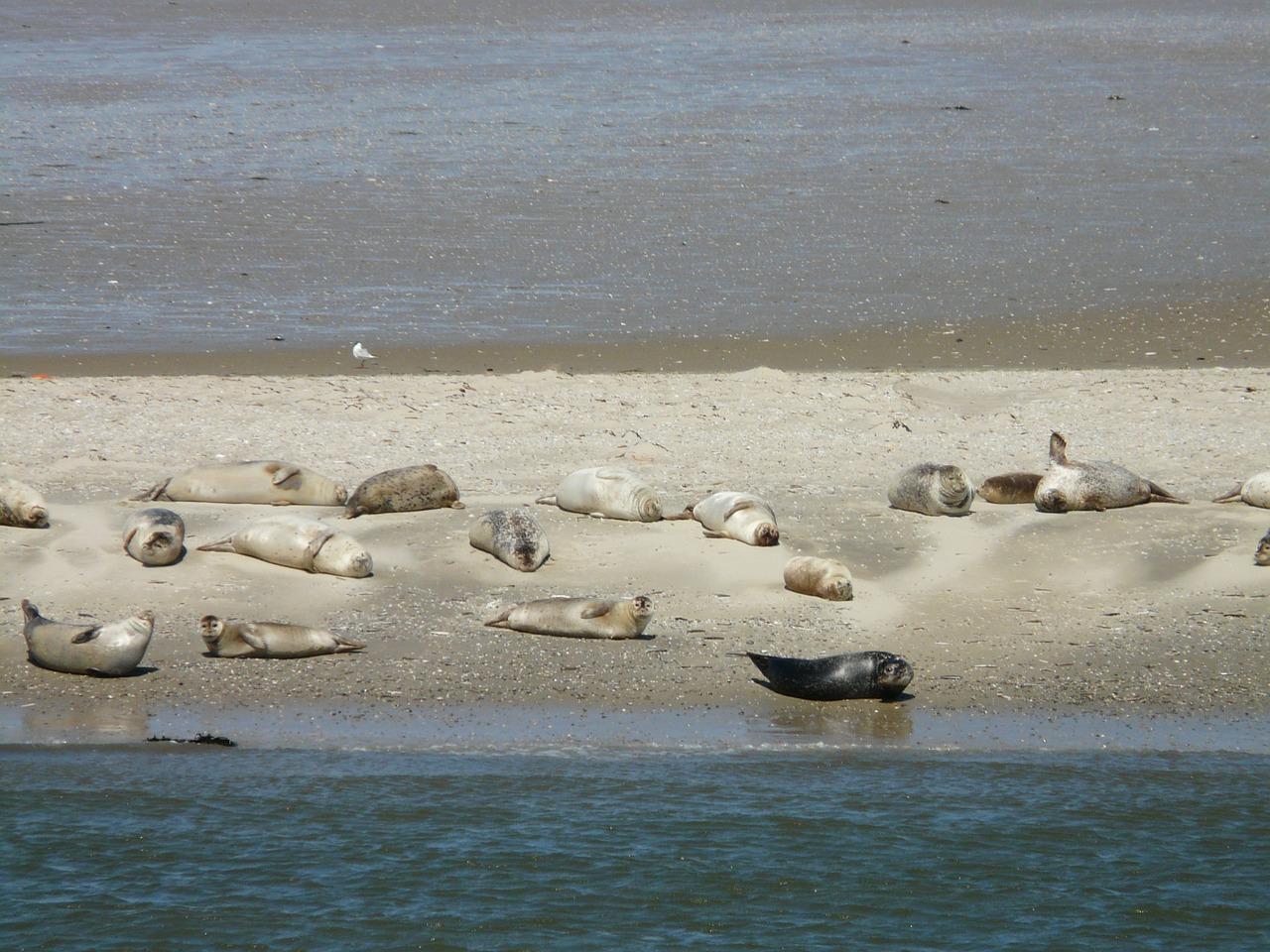 Robben auf einer Sandbank