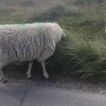 Schafe am Ellenbogen auf Sylt