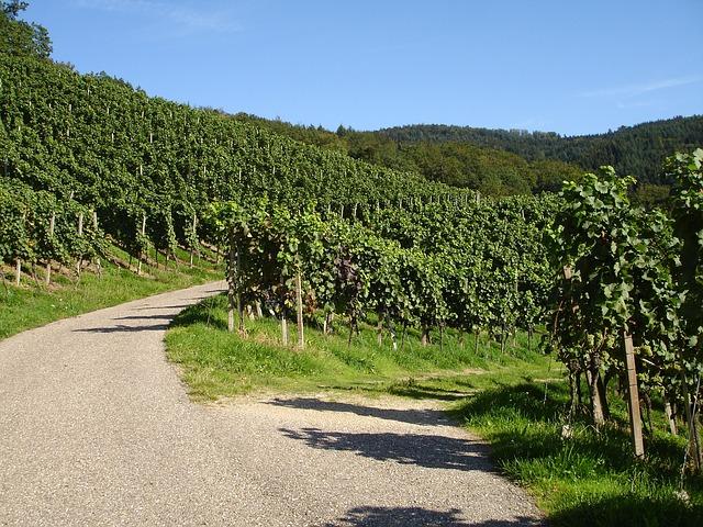 Weistöcke in der Pfalz