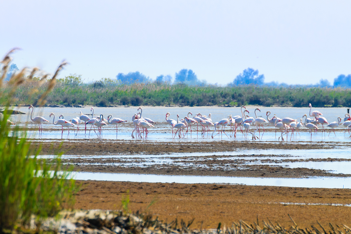 Flamingos am Rande des Wassers im Nationalpark Delta del Po.