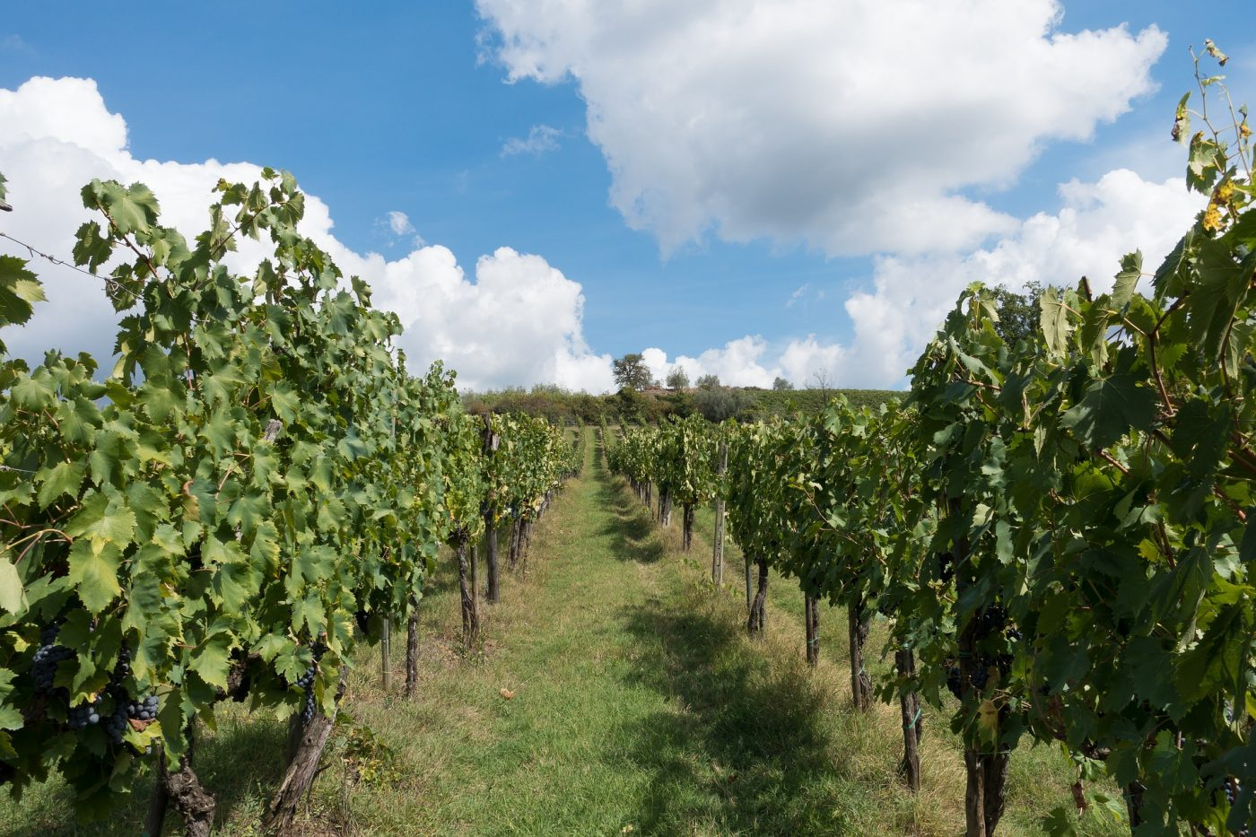 Weinanbau Toskana