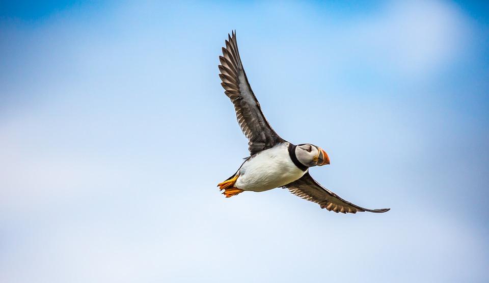 Papagaientaucher auf Island