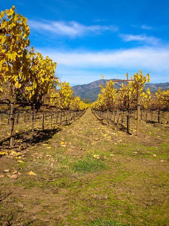Weinreben Kalifornien