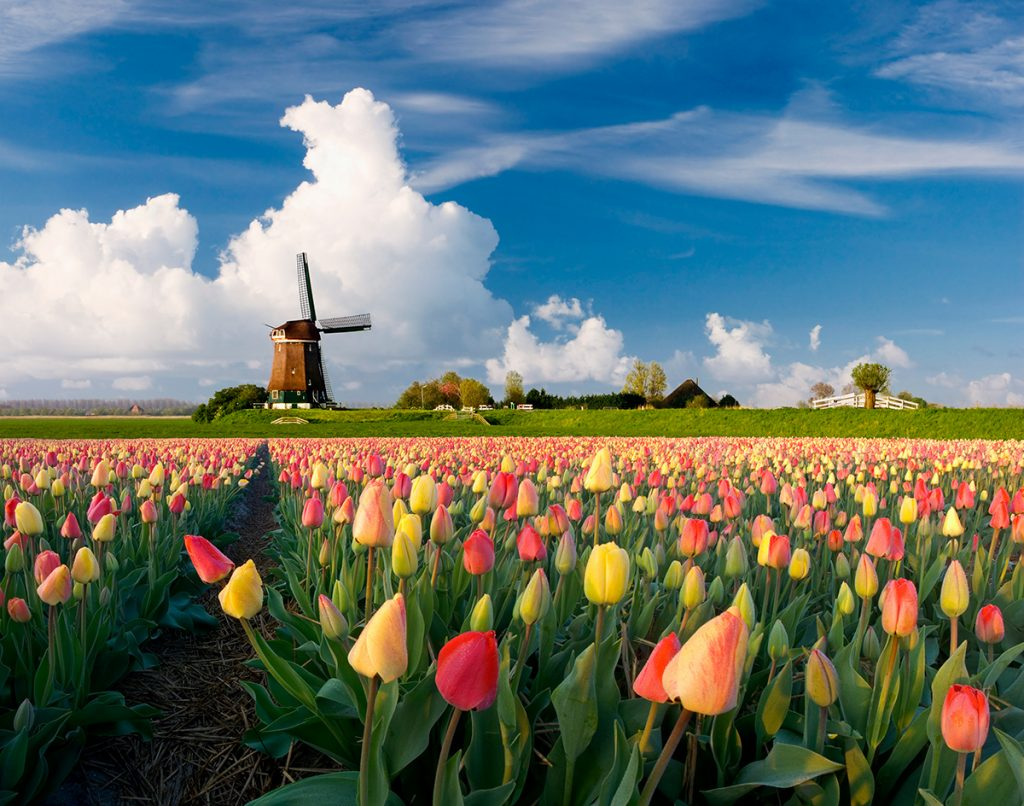 Gelb-rotes Tulpenfeld mit einer Windmühle im Hintergrund.