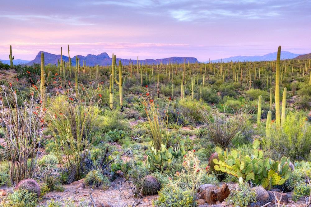 Saguaro Kakteen in der Wüste des Saguaro Nationalpark.