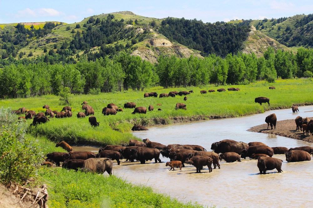 Eine Herde Bisons grast in und an einem Fluss im Theodore Roosevelt Nationalpark.