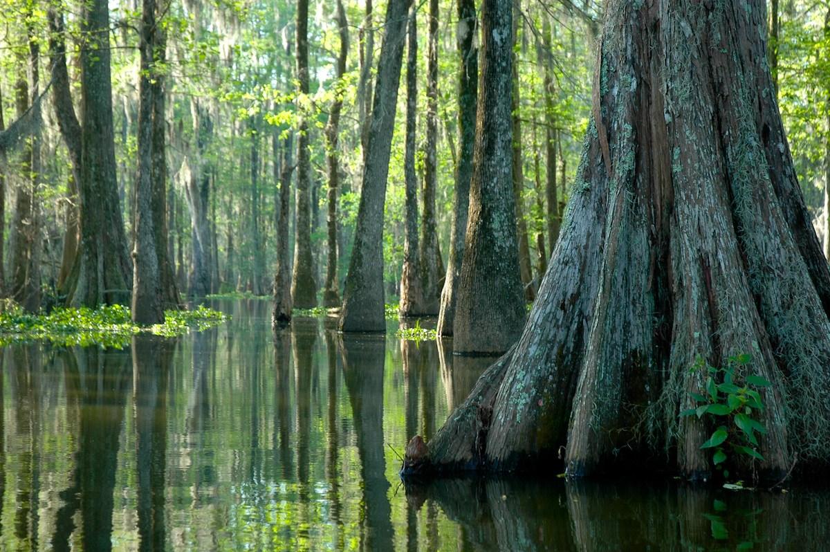 Waldstück  des Barataria Preserve, gelegen im Jean Lafitte National Historical Park & Preserve.