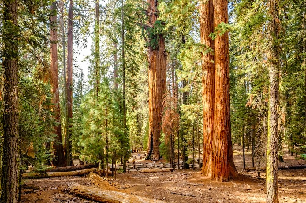 Typischer Wald des Sequoia Nationalpark.s