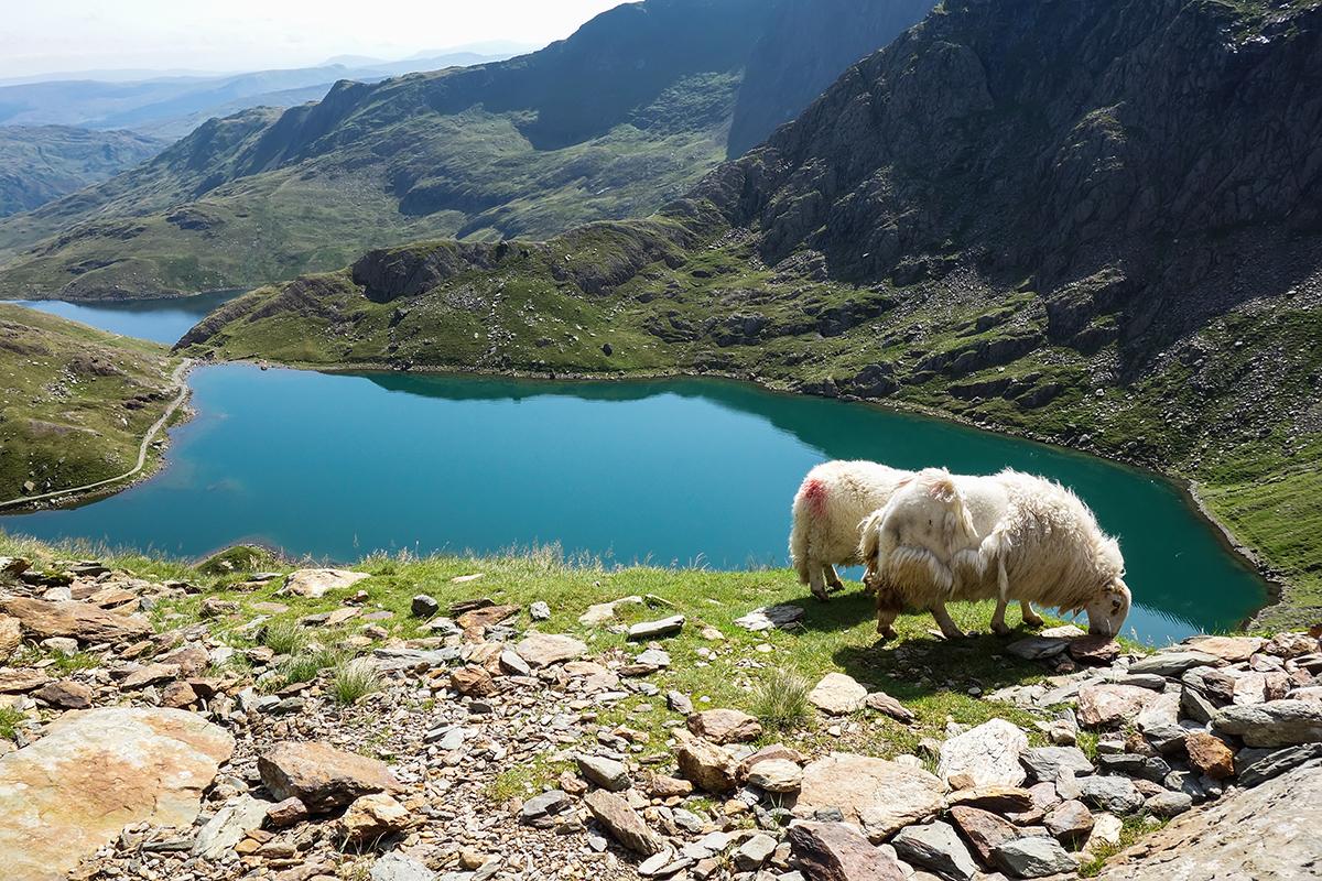 Zwei Schafe inmitten einer grünen Seelandschaft in Wales.