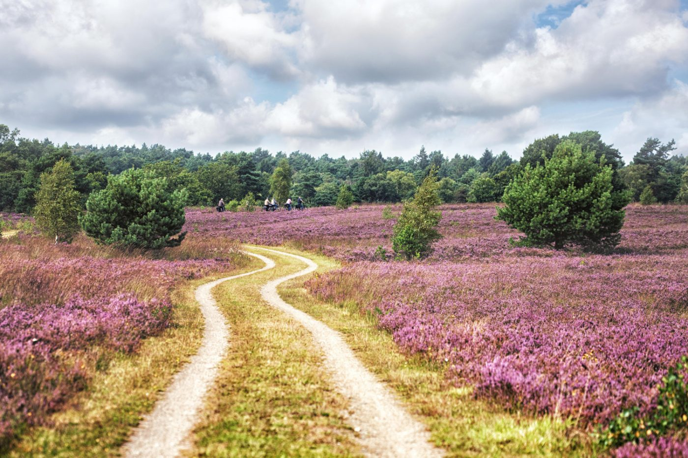 Ein verschlungender Weg durch die Wiesenlandschaft der Lüneburger Heide zur Blütezeit.