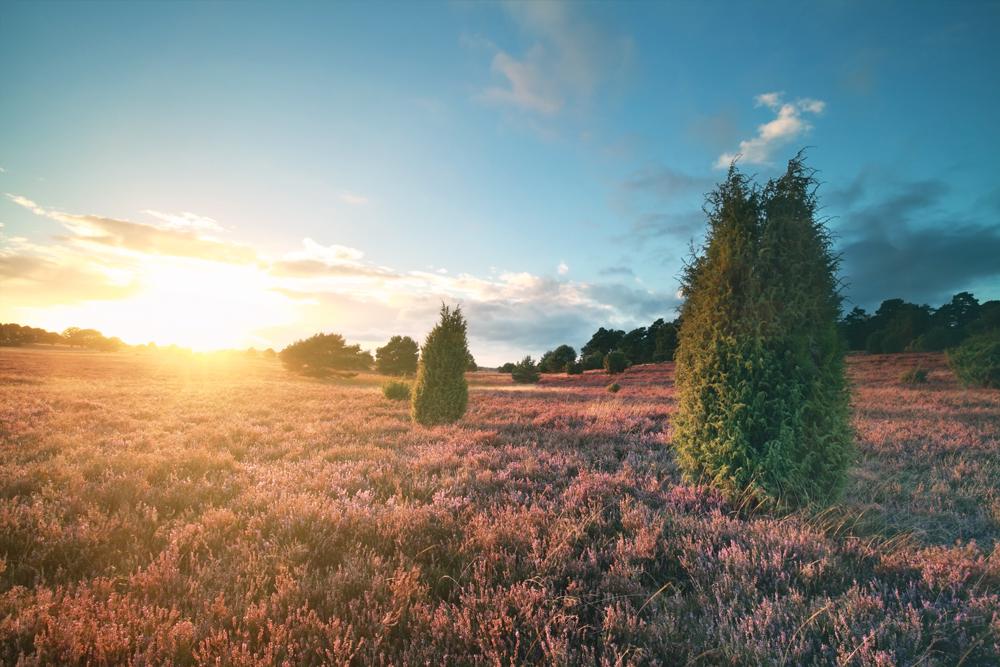 Lila blühende Felder in der Lüneburger Heide.