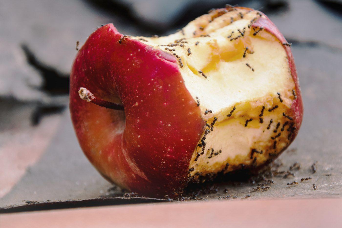 Ameisen auf einem angebissenen Apfel.