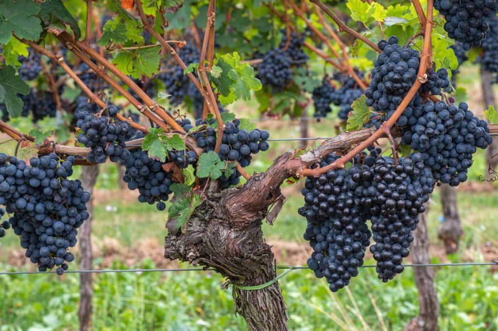 Rotweinreben in der Pfalz