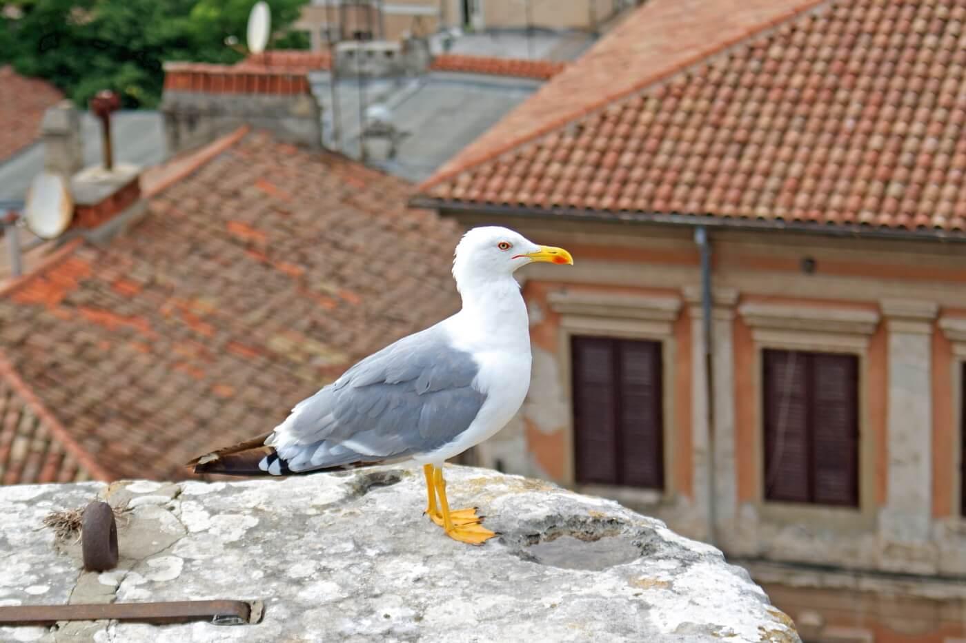 Möwe auf Mauer in Istrien