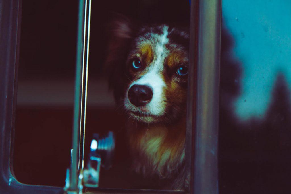 Hund schaut aus Wohnmobil Fenster